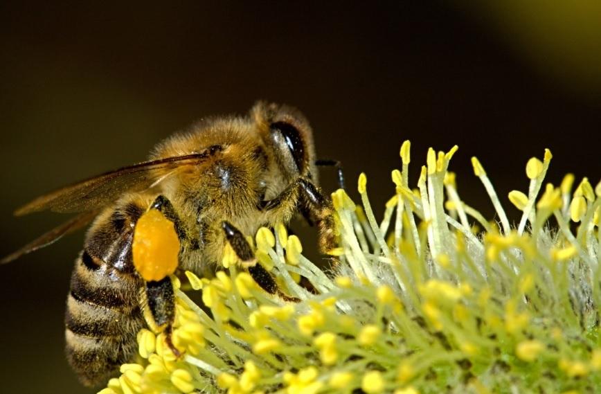 Ученые натренировали пчел выявлять коронавирус в крови