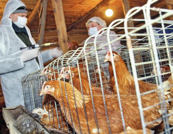 Третью вспышку птичьего гриппа за 10 дней зафиксировали в Тюменской области